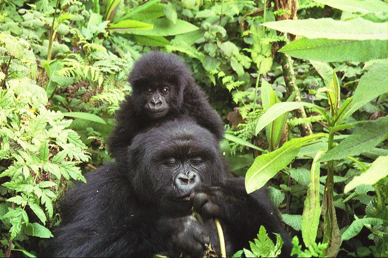 Zoologie... Gorill12