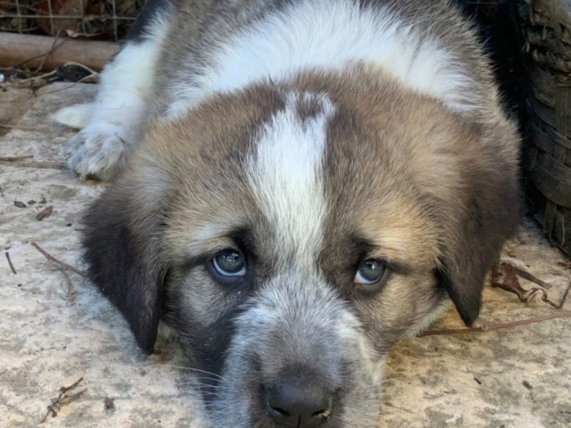 mastin bébé à l'adoption réservée  Ambra10