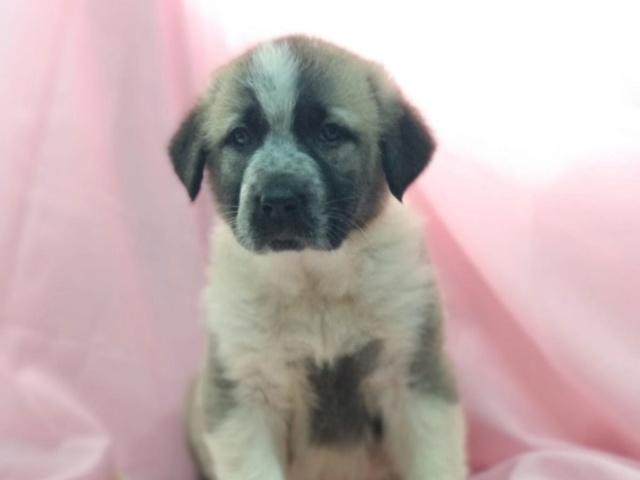 mastin bébé à l'adoption réservée  Ambra_10