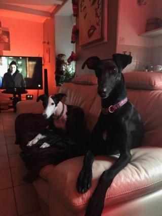 """Aragon petit galgo de 4 mois à l'adoption """"Scooby France Adopté  - Page 2 Aragon10"""
