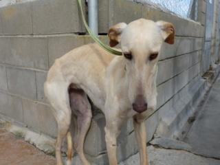 Bina galga à l'adoption qui vous fait peine !! reservée  Bina10