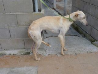 Bina galga à l'adoption qui vous fait peine !! reservée  Bina_210