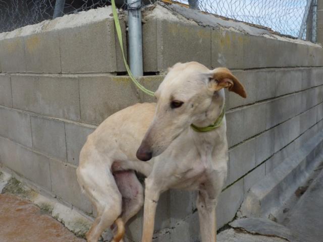 Bina galga à l'adoption qui vous fait peine !! reservée  Bina_310