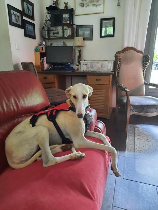 Galga blanche  Calista à l'adoption Scooby France réservée  Calist12