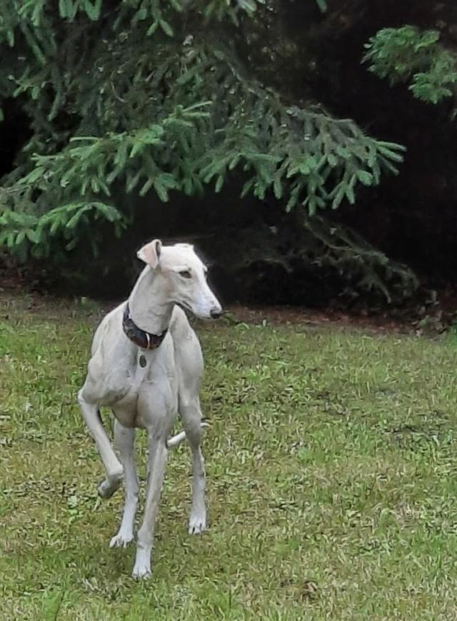Galga blanche  Calista à l'adoption Scooby France réservée  Calist15