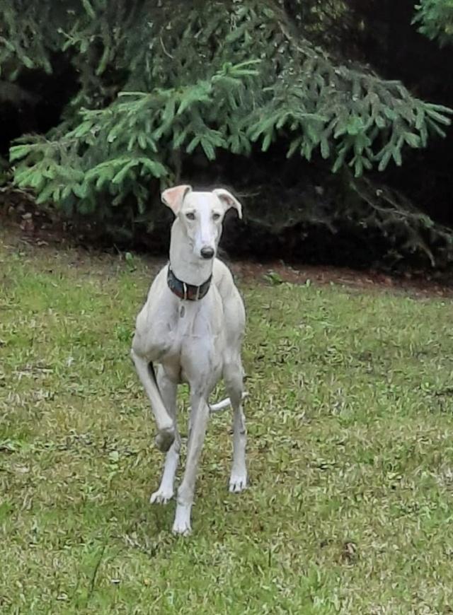 Galga blanche  Calista à l'adoption Scooby France réservée  Calist16