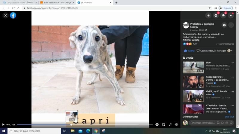 Capri galguito à l'adoption Scooby France reservé  Capri_10