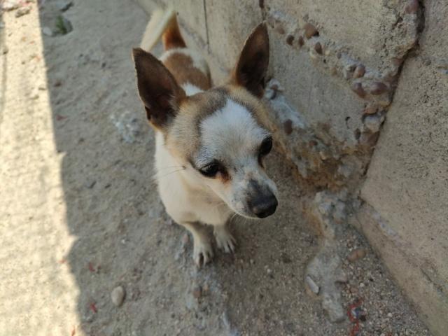 Chihuahua de 2016 à l'adoption reservé  Chihua11