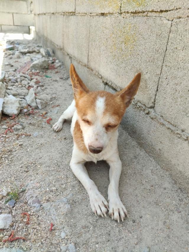 Chihuahua borgne ,adorable et attachant à l'adoption Scooby France reservé   Chihua12