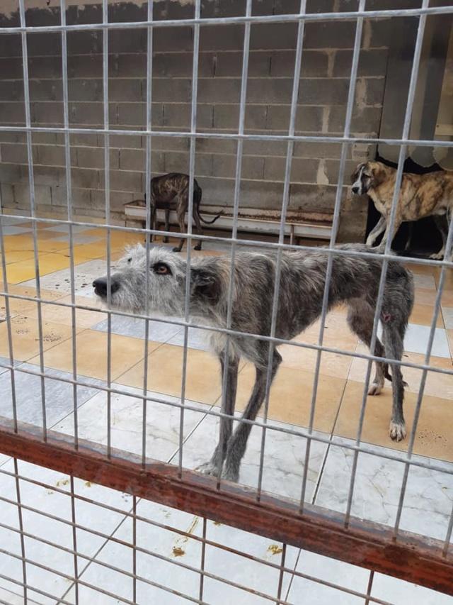 Dounia galga barbuda Adoptée  Dounia12