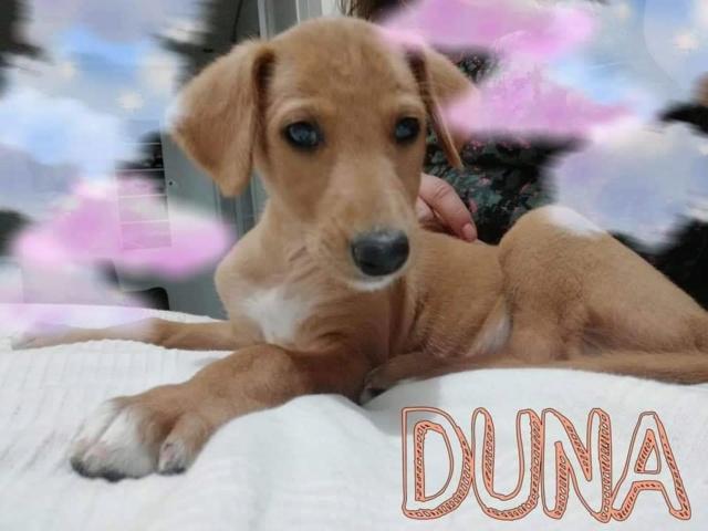 Duna chiot galga Adoptée  Duna10