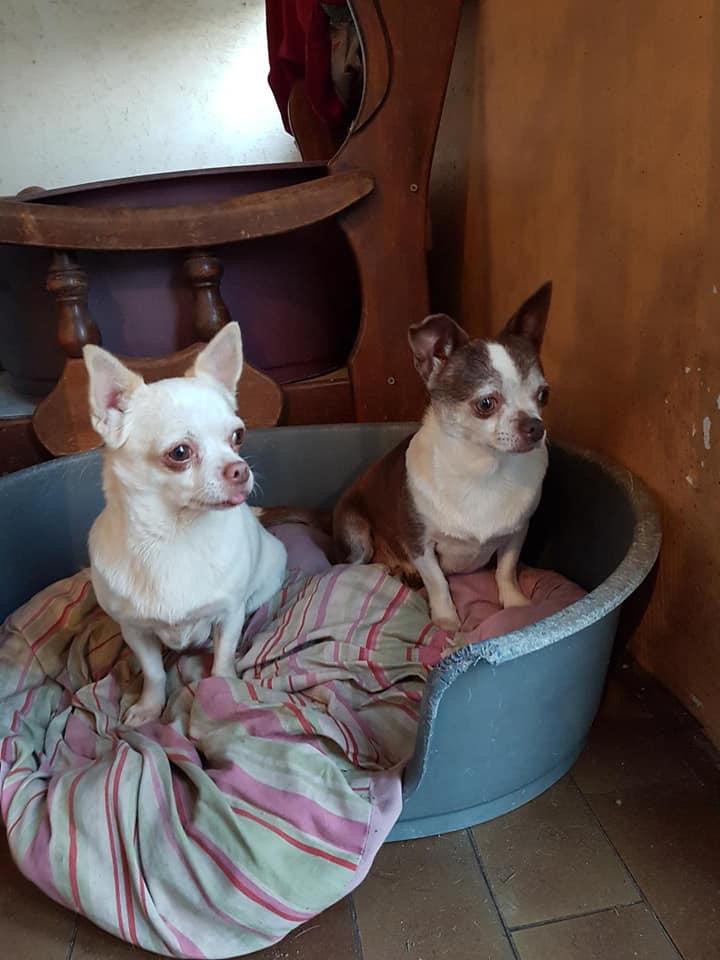 Masha 2ans petite chihuahua adoptée Elpy10