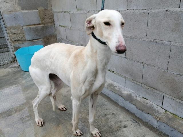 Galga blanche à l'adoption Scooby France  Femell11