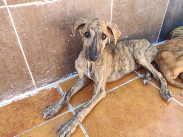 Galguito bringé à l'adoption Scooby France réservé  Galgui12