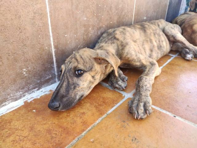 Galguito bringé à l'adoption Scooby France réservé  Galgui13