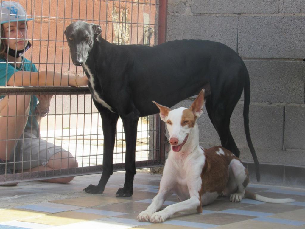 Gina podenca à l'adoption Scooby France Adoptée  Gina_111