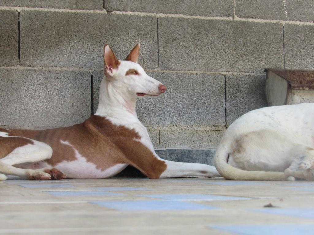 Gina podenca à l'adoption Scooby France Adoptée  Gina_112