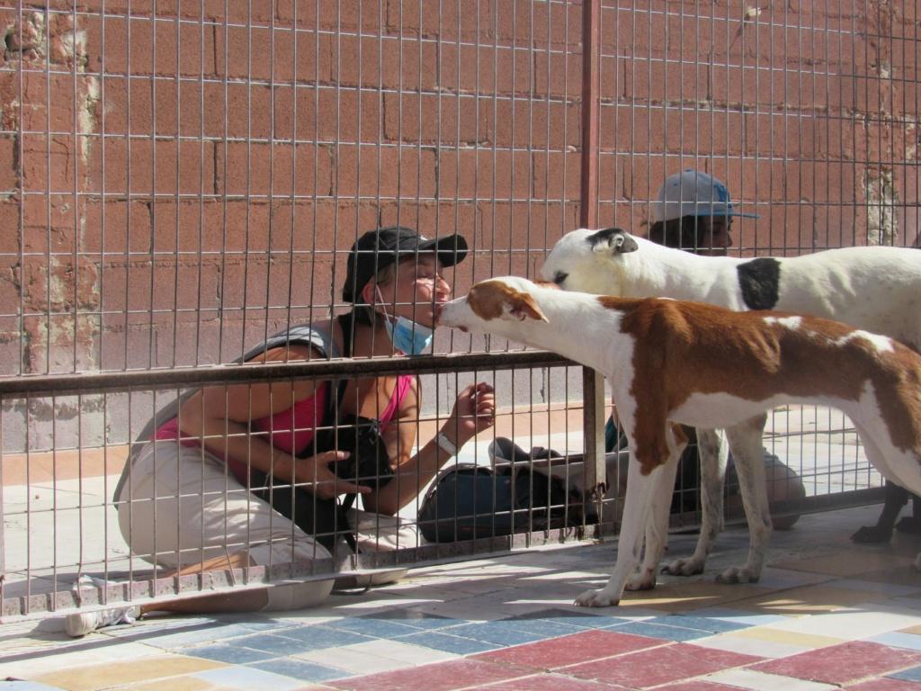 Gina podenca à l'adoption Scooby France Adoptée  Gina_113