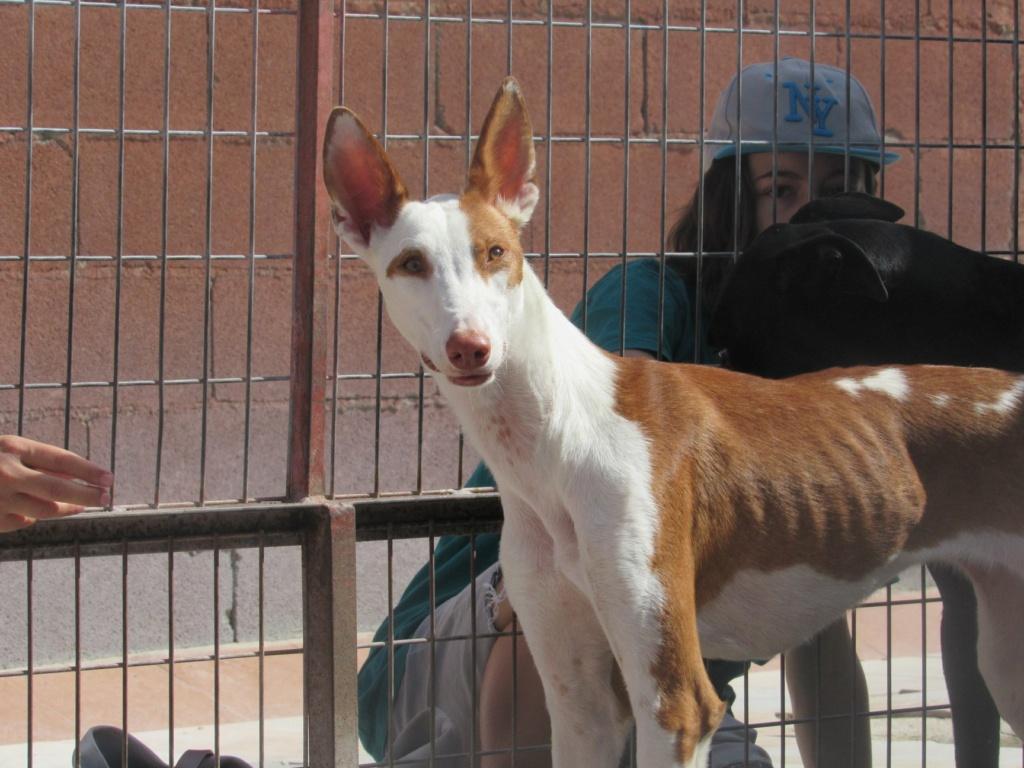 Gina podenca à l'adoption Scooby France Adoptée  Gina_114