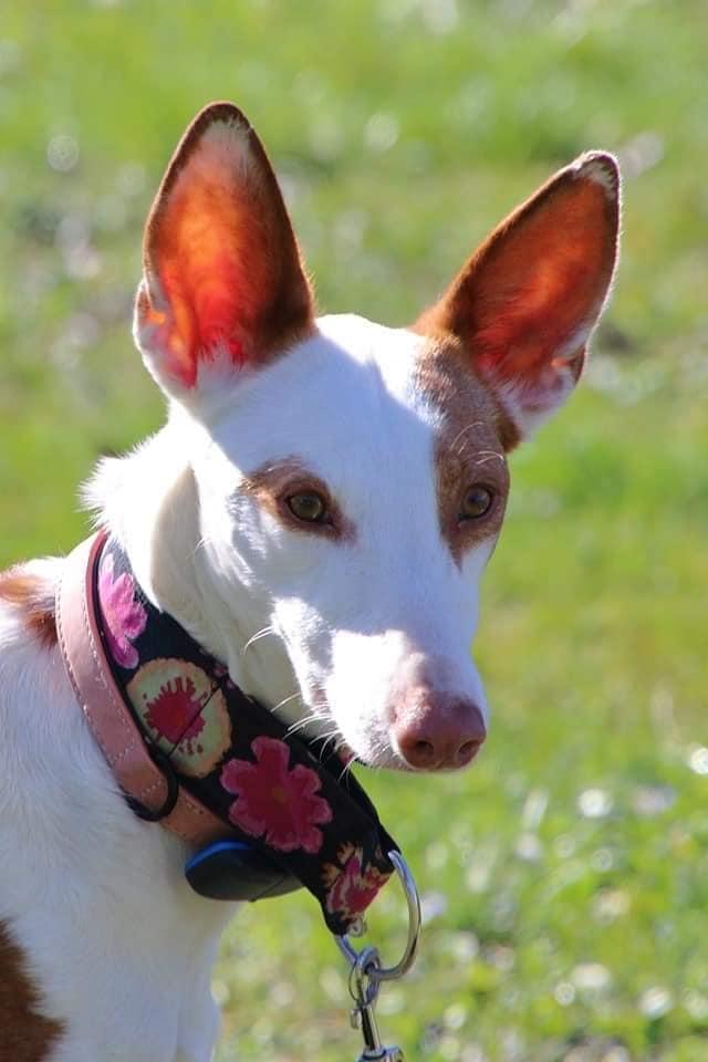 Gina podenca à l'adoption Scooby France Adoptée  Gina_510