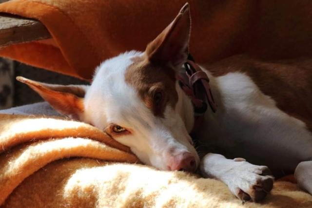 Gina podenca à l'adoption Scooby France Adoptée  Gina_511