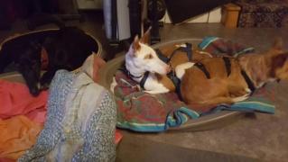 Gina podenca à l'adoption Scooby France Adoptée  Gina_a12
