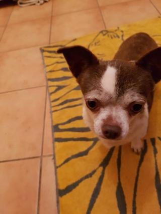 India chihuahua à l'adoption  India10