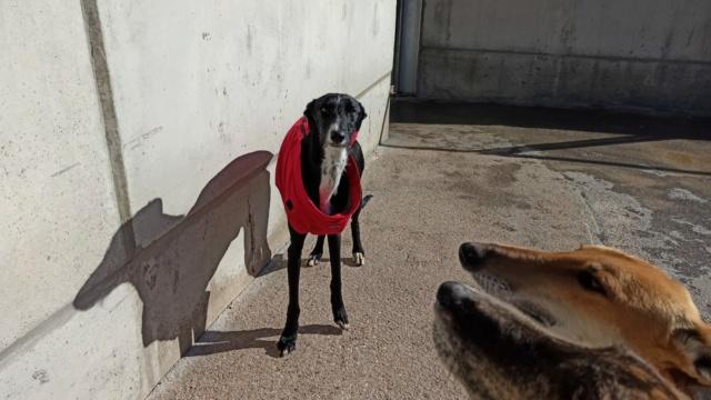 Lester gentil galgo noir à l'adoption Scooby France  Lester10