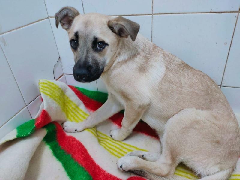 Lila petite croisée carlin de 9 mois Adoptée  Lila_c10