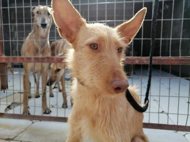 Lulu aux grandes oreilles ,podenca de 1 an à l'adoption Scooby France  Lulu_p10