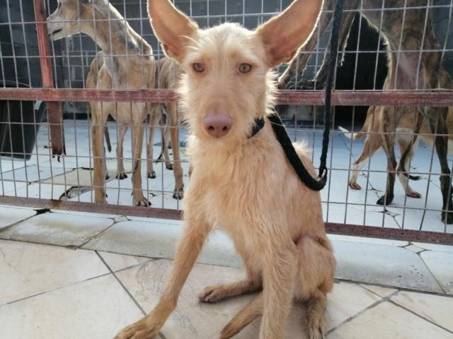 Lulu aux grandes oreilles ,podenca de 1 an à l'adoption Scooby France  Lulu_p11