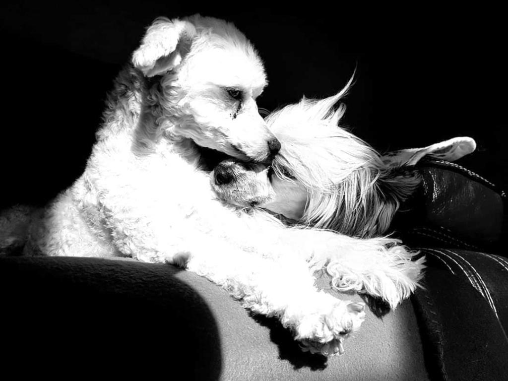 """Luna petite houpette de 9 mois """"chiens chinois à poils""""Adoptée  - Page 2 Luna_c13"""