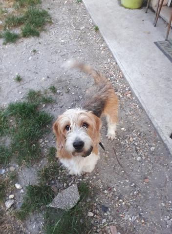 Pacha croisé griffon à l'adoption Scooby France Adopté  Pacha_11
