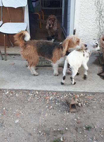 Pacha croisé griffon à l'adoption Scooby France Adopté  Pacha_12