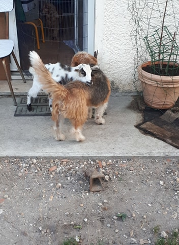Pacha croisé griffon à l'adoption Scooby France Adopté  Pacha_13