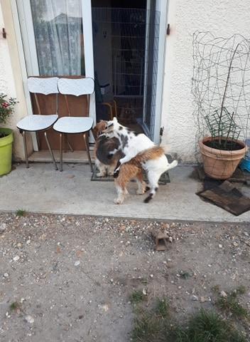 Pacha croisé griffon à l'adoption Scooby France Adopté  Pacha_14