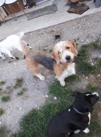 Pacha croisé griffon à l'adoption Scooby France Adopté  Pacha_15