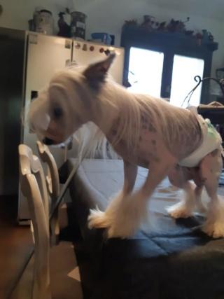 Paddy ,petit chien chinois de 1 an et demi à l'adoption  Paddy_10