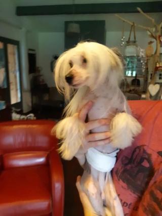 Paddy ,petit chien chinois de 1 an et demi à l'adoption  Paddy_12