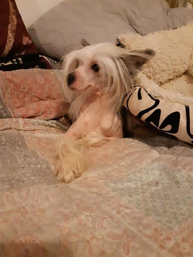 Paddy ,petit chien chinois de 1 an et demi à l'adoption  Paddy_13
