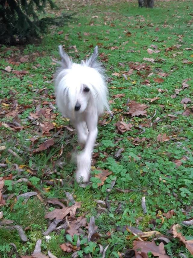 Paddy ,petit chien chinois de 1 an et demi à l'adoption  Paddy_14
