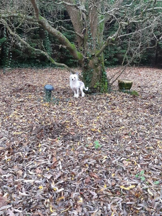 Paddy ,petit chien chinois de 1 an et demi à l'adoption  Paddy_15