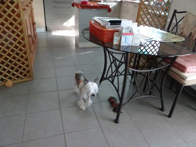 Paddy ,petit chien chinois de 1 an et demi à l'adoption  Paddy_17