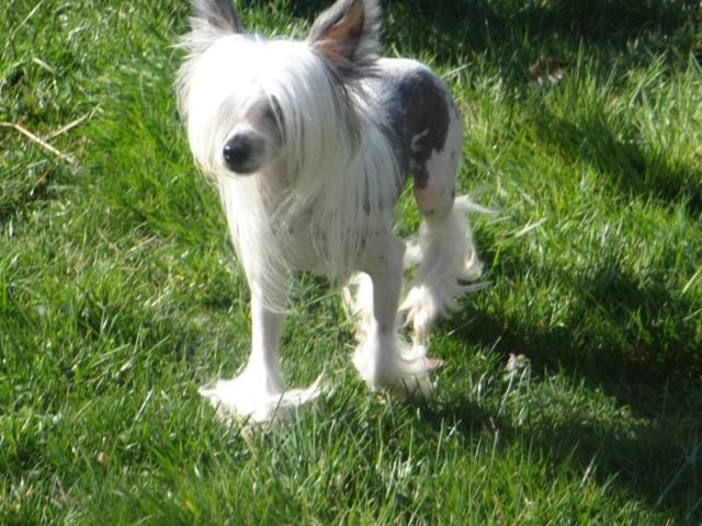 Paddy ,petit chien chinois de 1 an et demi à l'adoption  Paddy_18