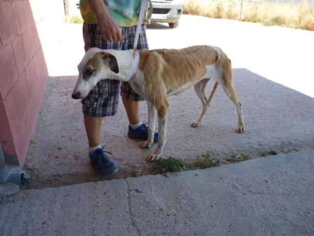 Padi galga à l'adoption née en 2013 Padi_210