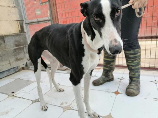 Pantoja ,petite galga noire et blanche à l'adoption Scooby France reservée   Pantoj10