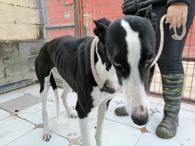 Pantoja ,petite galga noire et blanche à l'adoption Scooby France reservée   Pantoj11