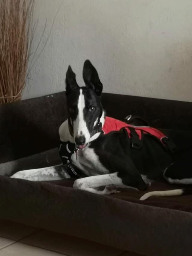 Pantoja ,petite galga noire et blanche à l'adoption Scooby France reservée   Pantoj16