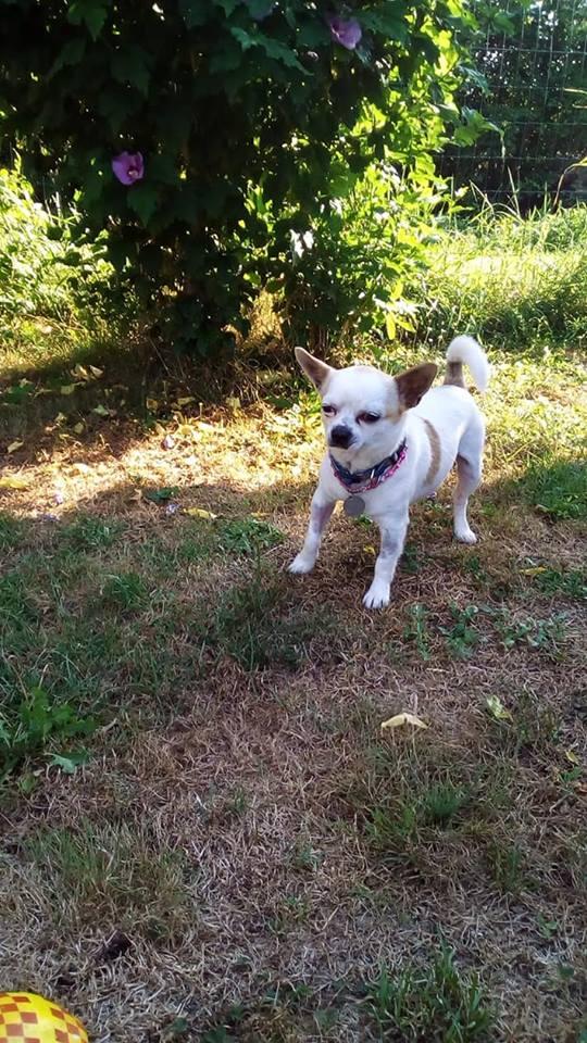Peyo petit chihuahua à l'adoption  Peyo10