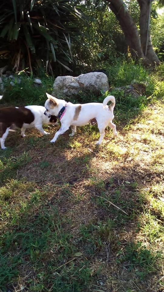 Peyo petit chihuahua à l'adoption  Peyo_210